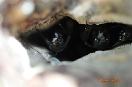 Ameisen im Baumstamm einer alten Föhre, kurz vor dem Jungfernflug